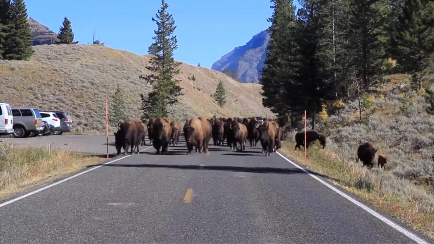 Бизоны бегут из Йеллоустонского национального парка