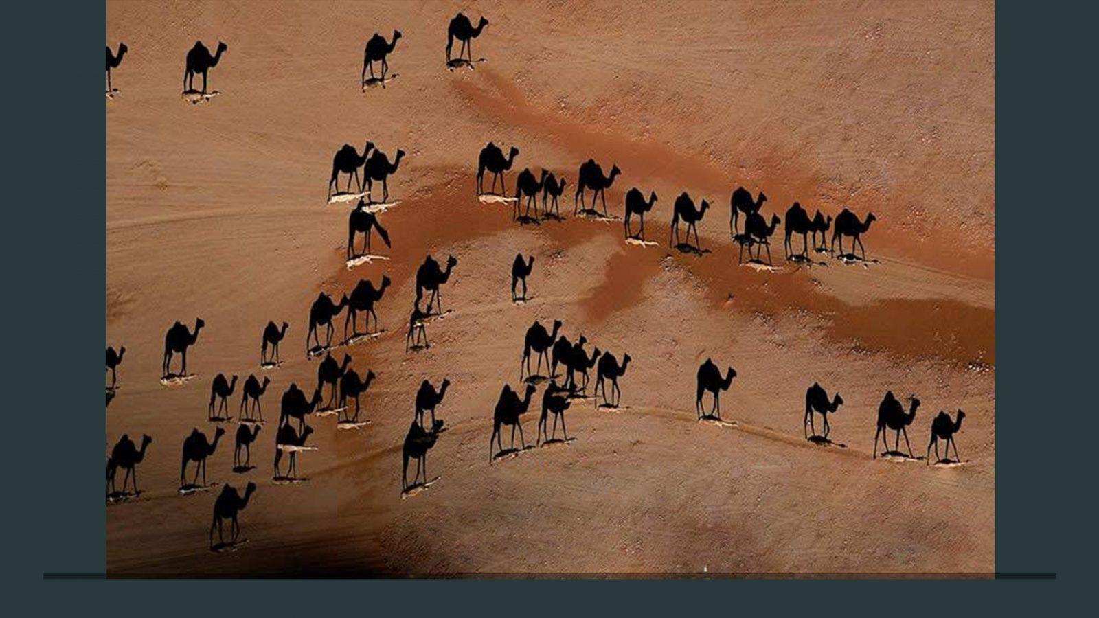 Что за белые пятна под верблюдами