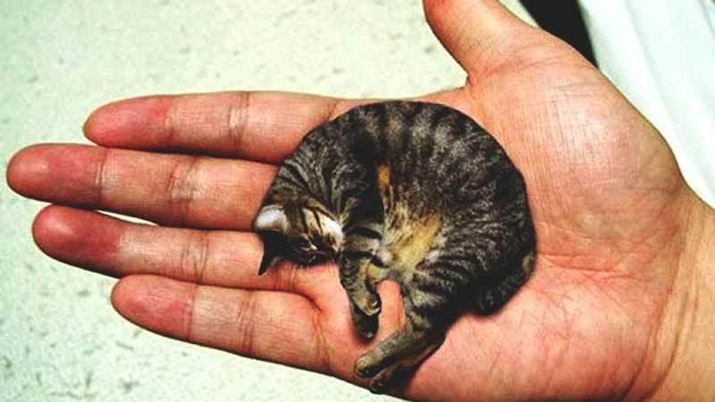 Мистер Пибблз - самый маленький кот в мире