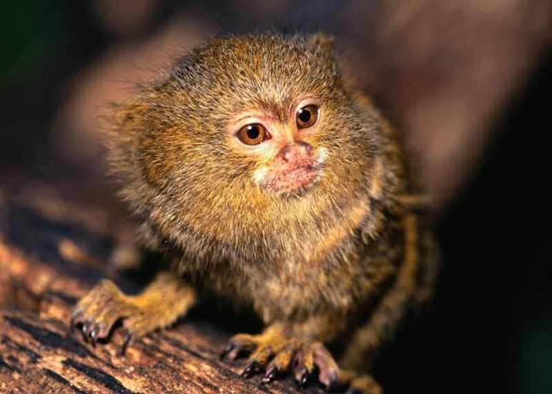 Игрунки карликовые - самые маленькие приматы на земле