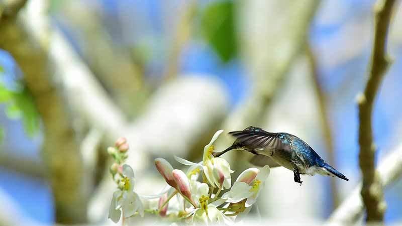 Колибри-пчелка - самая маленькая птичка