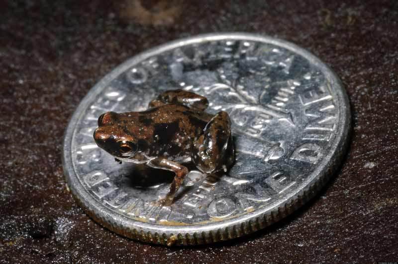 Paedophryne - самая маленькая лягушка