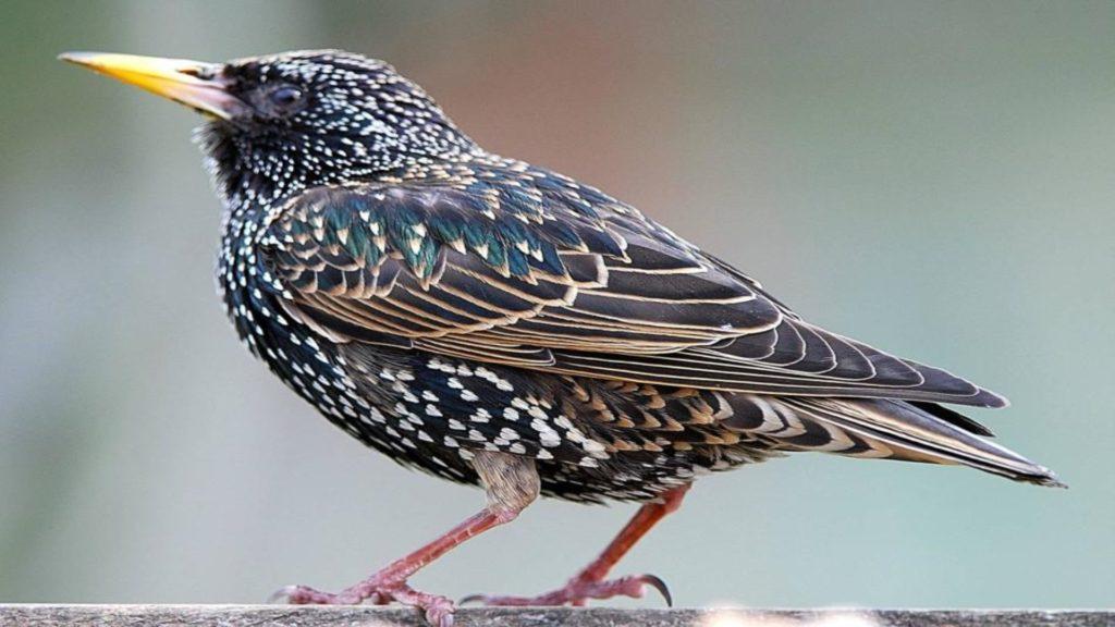 Скворец - птица певчая: звуки пения и фото скворцов в дикой природе