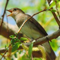 Соловей — птица счастья: соловьиные трели, звуки пения и фото соловьев в дикой природе