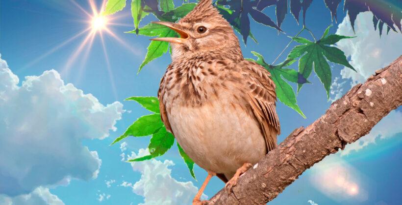 Жаворонок — птица певчая. Звуки пения и фото жаворонка в дикой природе