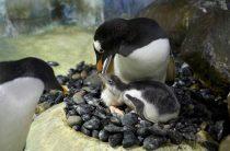 Встречайте Флэш — Птенец Пингвинов Gentoo